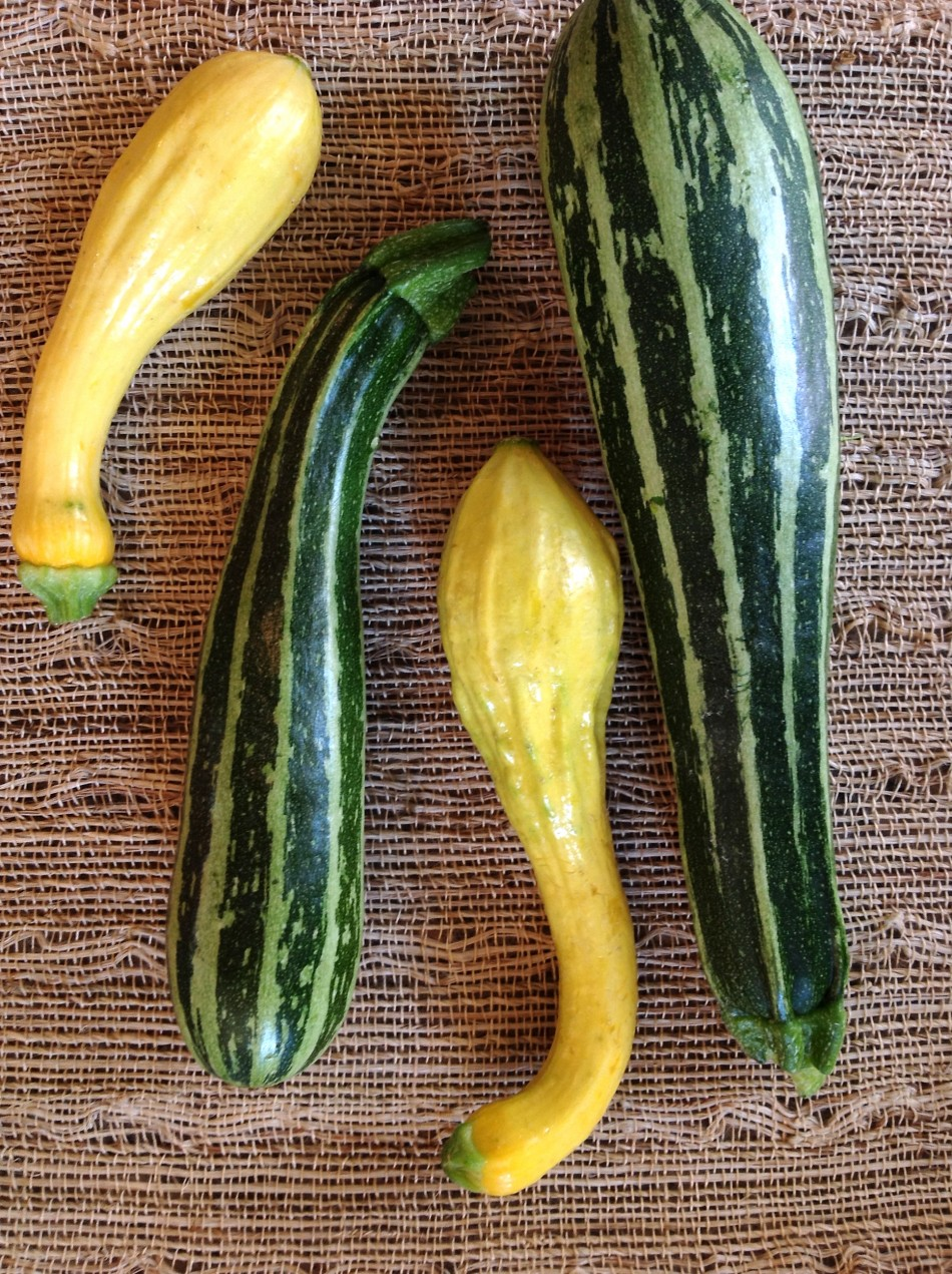 Italian striped zucchini and yellow crook neck squash