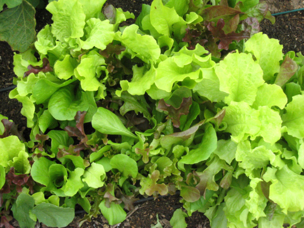 growing salad greens