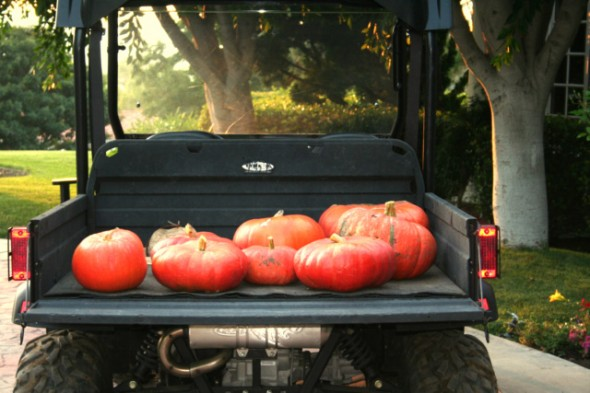harvesting pumpkins