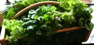 lettuces in basket
