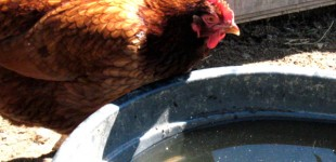 chicken drinking