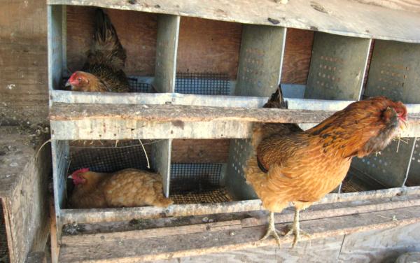 chickens nesting