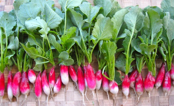 row of radishes